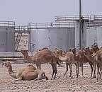 Camels and Oil